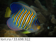 Royal angelfish (Pygoplites diacanthus) in Raja Ampat, West Papua, Indonesia, Pacific Ocean. Стоковое фото, фотограф Nick Hawkins / Nature Picture Library / Фотобанк Лори