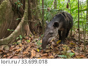 Baird's tapir (Tapirus bairdii), rainforest, Corcovado National Park, Costa Rica. Endangered. Стоковое фото, фотограф Nick Hawkins / Nature Picture Library / Фотобанк Лори