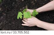 Купить «Female farmer hands gently plant a maple seedling in soil», видеоролик № 33705502, снято 6 мая 2020 г. (c) Алексей Кузнецов / Фотобанк Лори