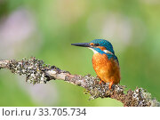 Купить «Kingfisher (Alcedo atthis) near Wychbold, Worcestershire, England, UK.», фото № 33705734, снято 2 июля 2020 г. (c) Nature Picture Library / Фотобанк Лори