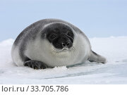 Hooded Seal (Cystophora cristata) pup, Magdalen Islands, Canada. Стоковое фото, фотограф Sylvain Cordier / Nature Picture Library / Фотобанк Лори
