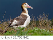 Short-tailed Albatross or Steller's Albatross ( Phoebastria albatrus), juvenile, Sand Island, Midway, Hawaii. Стоковое фото, фотограф Sylvain Cordier / Nature Picture Library / Фотобанк Лори