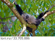 Lion-tailed macaque (Macaca silenus), dominant male, resting in a tree, Anaimalai Mountain Range (Nilgiri hills), Tamil Nadu, India. Стоковое фото, фотограф Sylvain Cordier / Nature Picture Library / Фотобанк Лори