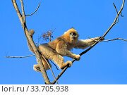 Golden snub-nosed monkey (Rhinopithecus roxellana) in tree, with blue sky. Qinling Mountains, Shaanxi province, China. Стоковое фото, фотограф Sylvain Cordier / Nature Picture Library / Фотобанк Лори