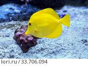 Желтая зебрасома или желтый парусник  Zebrasoma flavescens морская рыбка. Стоковое фото, фотограф Татьяна Белова / Фотобанк Лори