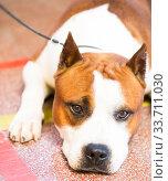 Купить «brown thoroughbred American Pit Bull Terrier dog», фото № 33711030, снято 16 июля 2017 г. (c) Татьяна Яцевич / Фотобанк Лори
