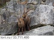 Два альпийских козерога, или ибекса (лат.  Capra ibex). Альпийский зоопарк, Инсбрук, Австрия. (2020 год). Стоковое фото, фотограф Сергей Рыбин / Фотобанк Лори