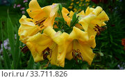 Beautiful yellow lilies close-up. After the rain. Стоковое видео, видеограф Володина Ольга / Фотобанк Лори