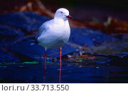 Купить «Silver Gull, Larus novaehollandidae, Laridae, adult, Gull, bird, animal, Queensland, Australia», фото № 33713550, снято 6 июля 2020 г. (c) age Fotostock / Фотобанк Лори