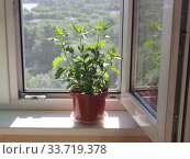 Горшок с комнатным растением на подоконнике на фоне москитной сетки. Стоковое фото, фотограф Елена Орлова / Фотобанк Лори