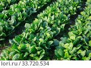 Field planted with spinach. Стоковое фото, фотограф Яков Филимонов / Фотобанк Лори