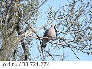 Купить «Большая горлица (лат. Streptopelia orientalis). Птица сидит на ветвях ильма, Приморский край.», эксклюзивное фото № 33721274, снято 7 мая 2020 г. (c) syngach / Фотобанк Лори