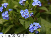 Alpine Forget-me-not (Myosotis asiatica) in flower. Стоковое фото, фотограф Марина Володько / Фотобанк Лори