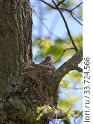 Купить «Chick with open beak in nest waiting for food», фото № 33724566, снято 19 мая 2019 г. (c) Куликов Константин / Фотобанк Лори