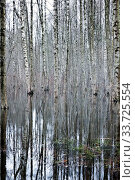 Birch forest in early spring, trees in the water. Стоковое фото, фотограф Вознесенская Ольга / Фотобанк Лори