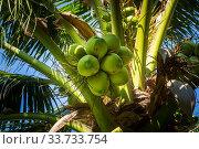 Купить «Cluster of coconut, Cocos Nucifera, on a palm tree, Arecaceae, with blue sky in background», фото № 33733754, снято 26 мая 2020 г. (c) easy Fotostock / Фотобанк Лори