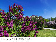 Lilac garden in Moscow on a sunny spring day. Russia (2019 год). Стоковое фото, фотограф Наталья Волкова / Фотобанк Лори