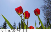 Red tulips flowers shake in the spring breeze against the blue sky. Стоковое видео, видеограф Алексей Кузнецов / Фотобанк Лори