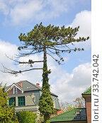 Купить «Сосна чёрная австрийская (Pinus nigra J.F.Arnold) в городском озеленении», фото № 33742042, снято 8 мая 2020 г. (c) Ирина Борсученко / Фотобанк Лори