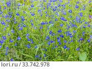 Lobelia pendulifolia 'Saphir'. Стоковое фото, фотограф Alain Kubacsi / age Fotostock / Фотобанк Лори
