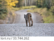 Купить «Rocky Mountain Lynx Alberta Canada Close young», фото № 33744262, снято 11 июля 2020 г. (c) age Fotostock / Фотобанк Лори
