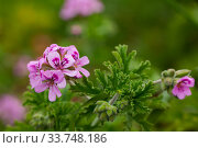 Flowers of Pelargonium. Стоковое фото, фотограф Яков Филимонов / Фотобанк Лори
