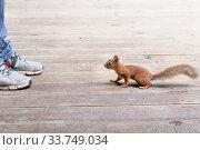 Купить «Смелый бельчонок подходит к человеку в кроссовках», фото № 33749034, снято 7 июня 2020 г. (c) Evgenia Shevardina / Фотобанк Лори
