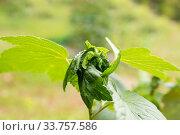 Купить «Currant aphid», фото № 33757586, снято 1 августа 2019 г. (c) Юлия Бабкина / Фотобанк Лори