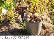 Купить «Harvesting potatoes», фото № 33757590, снято 4 сентября 2019 г. (c) Юлия Бабкина / Фотобанк Лори