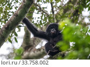 Bonobo (Pan paniscus) in tree,  Mpelu group, Malebo, Democratic Republic of Congo. Part of a family group monitored by Projet PICBOU, community-led ecotourism... Стоковое фото, фотограф Karine Aigner / Nature Picture Library / Фотобанк Лори