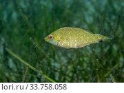 Купить «Ocellated wrasse (Symphodus ocellatus) sheltering in Neptune seagrass (Posidonia oceanica) meadow, Agia Pelagia, Heraklion, Crete, Greece», фото № 33758058, снято 5 июля 2020 г. (c) Nature Picture Library / Фотобанк Лори