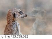 Купить «Portrait of a Meerkat (Suricata suricatta) in zoo, looking through enclosure glass. Monarto Safari Park, Monarto South, South Australia», фото № 33758082, снято 14 июля 2020 г. (c) Nature Picture Library / Фотобанк Лори
