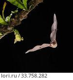 Купить «Orange Nectar Bat (Lonchophylla robusta) feeding on Calabash gourd flower (Crescentia cujete), lowland rainforest, Costa Rica. November.», фото № 33758282, снято 15 июля 2020 г. (c) Nature Picture Library / Фотобанк Лори