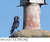 Купить «Jackdaw (Corvus monedula) standing beside a chimney pot with feathers in its beak for lining its nest inside the pot, Wiltshire, UK, March.», фото № 33758362, снято 27 мая 2020 г. (c) Nature Picture Library / Фотобанк Лори