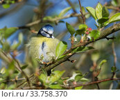 Купить «Blue tit (Parus caeruleus) perched on a Crab apple (Malus sylvestris) tree branch in a garden, fluffing up its feathers to keep warm late in the day, Wiltshire, UK, March.», фото № 33758370, снято 27 мая 2020 г. (c) Nature Picture Library / Фотобанк Лори