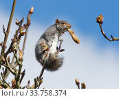 Grey squirrel (Sciurus carolinensis) feeding on new leaves in a Horse chestnut (Aesculus hippocastanum) tree, Wiltshire, UK, March. Стоковое фото, фотограф Nick Upton / Nature Picture Library / Фотобанк Лори