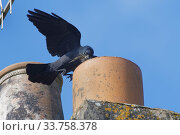 Купить «Jackdaw (Corvus monedula) flying to a chimney pot it is nesting in with small sticks and animal hair in its beak for lining its nest, Wiltshire, UK, March.», фото № 33758378, снято 2 июня 2020 г. (c) Nature Picture Library / Фотобанк Лори