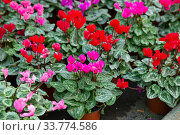 Купить «Potted Cyclamen with flowers in hothouse», фото № 33774586, снято 14 июля 2020 г. (c) Яков Филимонов / Фотобанк Лори