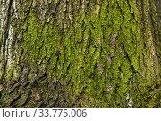 Купить «Background - mossy cracked tree bark», фото № 33775006, снято 7 мая 2020 г. (c) Евгений Харитонов / Фотобанк Лори