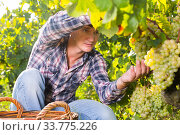Man gathering harvest of white grapes. Стоковое фото, фотограф Яков Филимонов / Фотобанк Лори