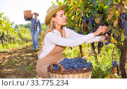 Female gathering harvest of purple grapes. Стоковое фото, фотограф Яков Филимонов / Фотобанк Лори