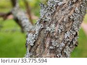 Lichen on apple tree. Стоковое фото, фотограф Юлия Бабкина / Фотобанк Лори
