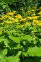 Купить «Телекия прекрасная (лат. Telekia speciosa) цветет в саду», фото № 33775666, снято 1 августа 2017 г. (c) Елена Коромыслова / Фотобанк Лори