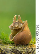 Freshwater snail (Radix auricularia), Europe, April, controlled conditions. Стоковое фото, фотограф Jan Hamrsky / Nature Picture Library / Фотобанк Лори