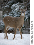 White-tailed deer (Odocoileus virginianus) doe standing in snow, New York, USA. Стоковое фото, фотограф John Cancalosi / Nature Picture Library / Фотобанк Лори