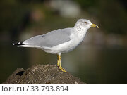 Купить «Ring-billed Gull (Larus delawarensis), standing beside lake, New York, USA», фото № 33793894, снято 31 мая 2020 г. (c) Nature Picture Library / Фотобанк Лори