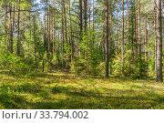 Купить «Pine forest with fallen trees», фото № 33794002, снято 30 августа 2019 г. (c) Дмитрий Тищенко / Фотобанк Лори