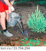 Купить «A young handsome man plants a sapling of spruce in the garden.», фото № 33794294, снято 10 мая 2014 г. (c) Акиньшин Владимир / Фотобанк Лори