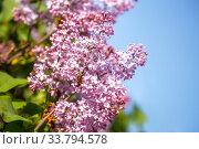 Купить «Lilac flower», фото № 33794578, снято 23 мая 2019 г. (c) Юлия Бабкина / Фотобанк Лори