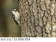 Купить «Downy Woodpecker (Picoides pubescens) male resting on tree trunk, Massachusetts, USA. April.», фото № 33804454, снято 29 мая 2020 г. (c) Nature Picture Library / Фотобанк Лори